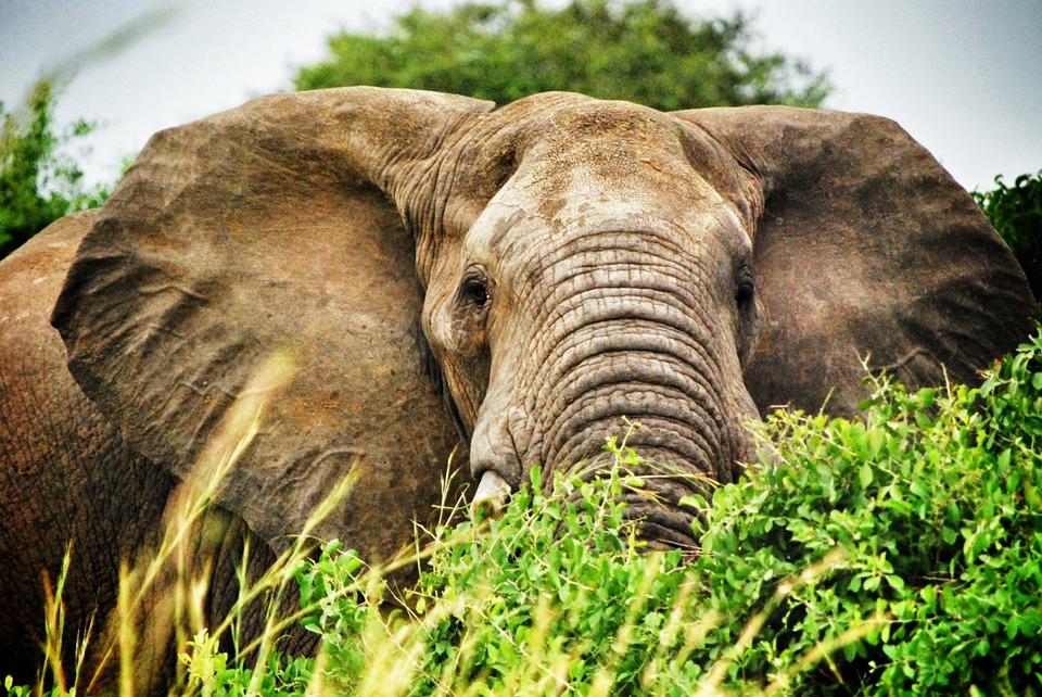 olifant-rechtenvrij